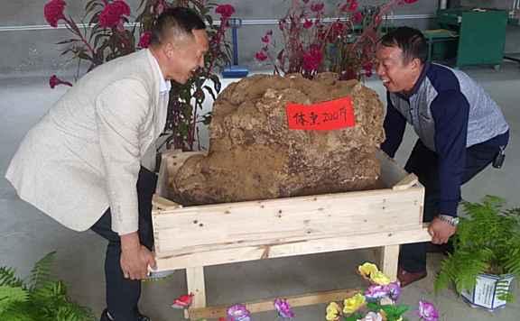 205斤茯苓王诞生!迄今最大!